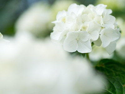 白のアジサイ。