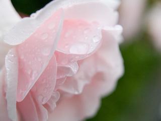 雨のバラ2