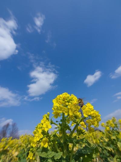 菜の花の空。