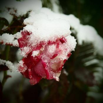 バラも冬眠。