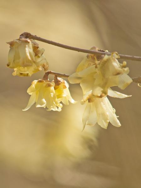 琥珀色の花。