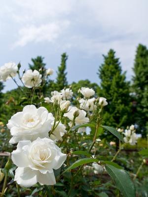 白いバラ。