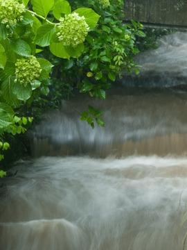 濁流とアジサイ