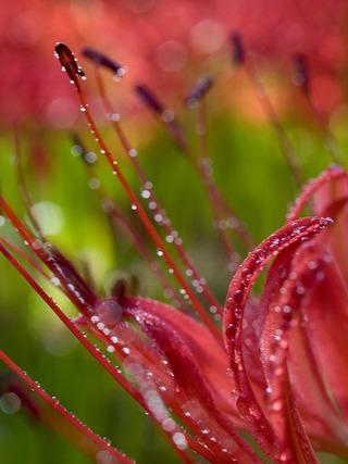 朝露に濡れて。