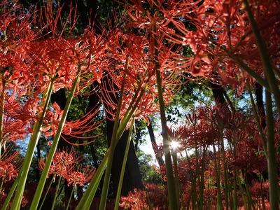 ヒガンバナの森。