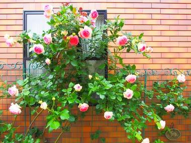 壁面のバラ2。