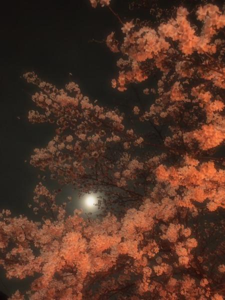 月下のサクラ。