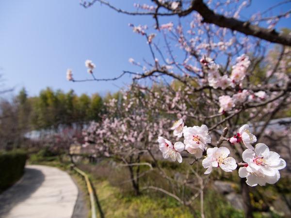 梅の道、花が見てる。