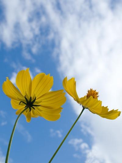 黄色のコスモス。