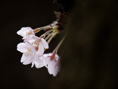 闇に咲くサクラ。
