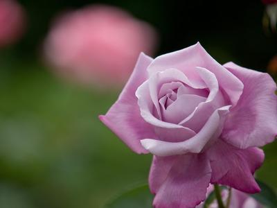 紫のバラの人。