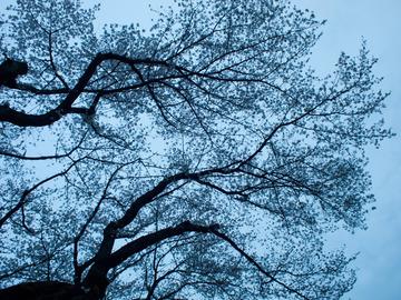 日暮れの桜。