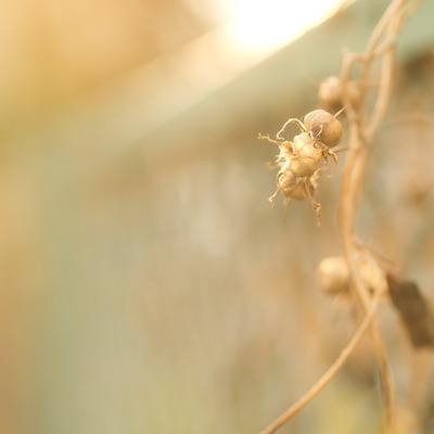 朝顔の種。