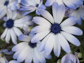 淡い紫から白。