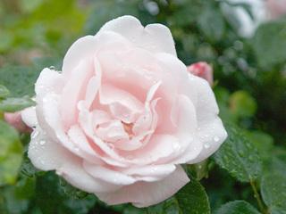 雨のバラ1