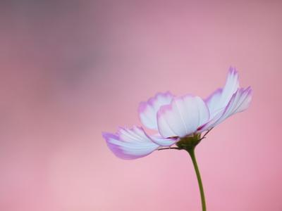 超ピンク。