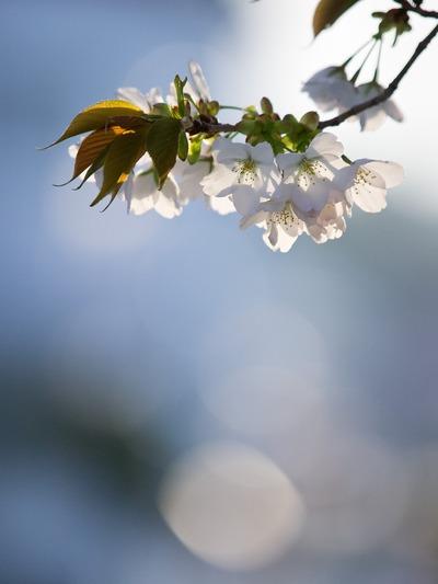 朝日と葉桜。