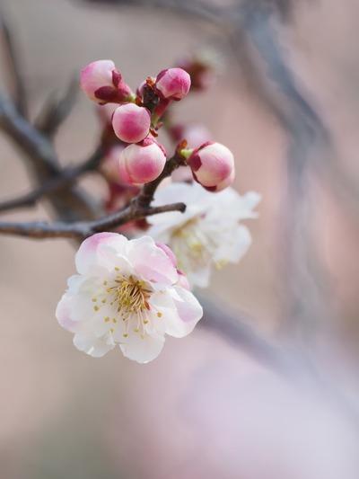 蕾が桃のよう。