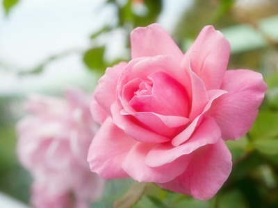 秋のバラ。