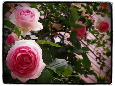 壁面のバラ。