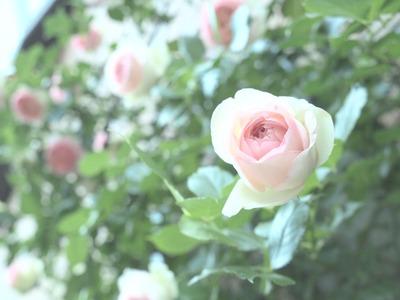 壁面のバラたち。
