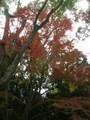 京都ほんのり紅葉