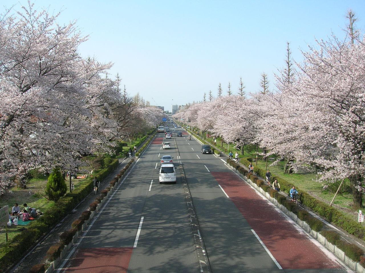 国立2010春桜満開 146