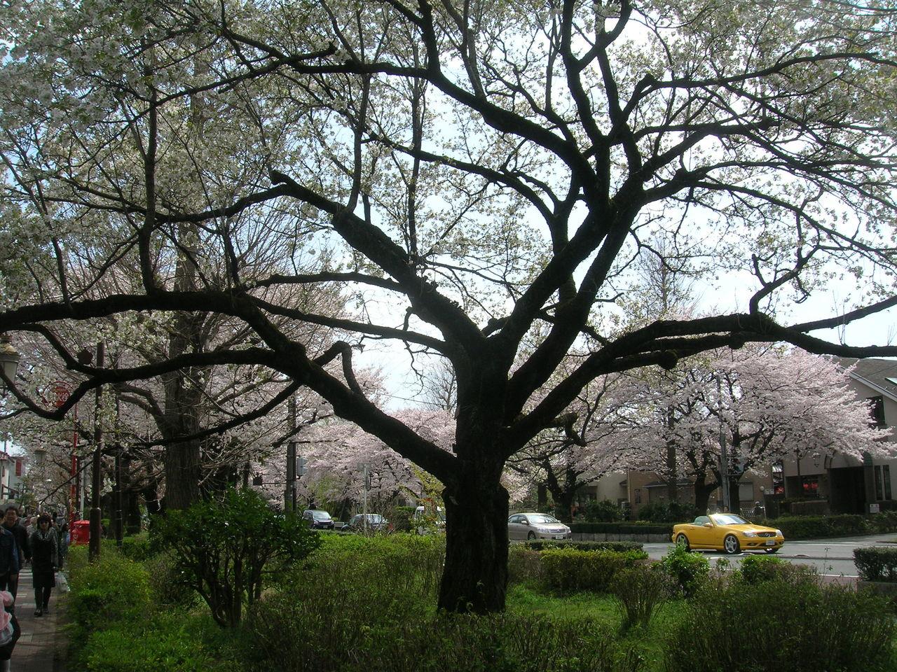 国立2010春桜満開 054