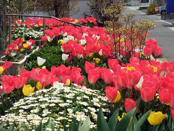 tulip20190417