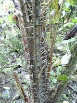 スネークスキンフルーツの木