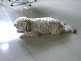 モップ犬@ウブドのSPA