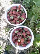 イチゴ大量ぉ〜!