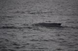 こんなカンジでクジラ出現