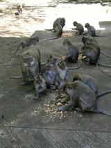 プラキ寺院のお猿さん達