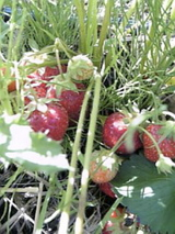 草の中に埋もれる苺ちゃん達