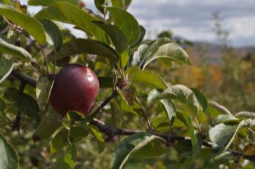 りんごも発見