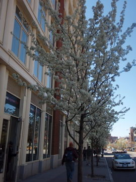 NYの白い花の梨の木