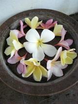 バリの花プルメリア(フランジパニ)