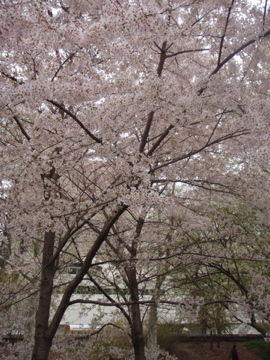 セントラルパークの桜