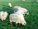 食べ盛りの羊クン達