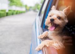 運転席側窓から犬の顔、男逮捕 道交法違反容疑、膝に乗せ運転?