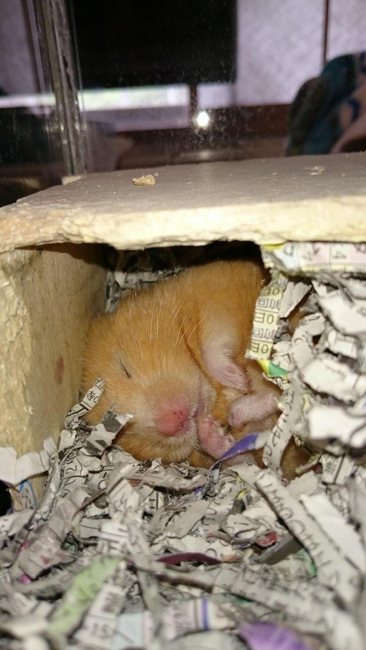 【大炎上】うちのハムスターの寝相がかわいい。【速報】