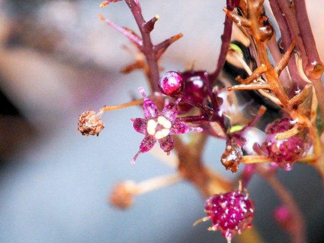 【新種】光合成をやめた新種植物を発見!!!「オモトソウ」と命名(沖縄県の石垣島)