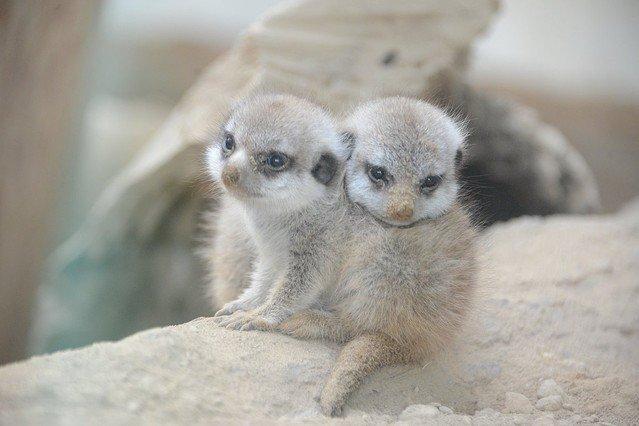 【胸キュン】ミーアキャットの赤ちゃんが円山動物園で14年ぶりに誕生!可愛すぎるwww