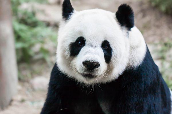 【東京】上野動物園 パンダの赤ちゃん誕生 「シンシン」が出産 東京都(13:46)