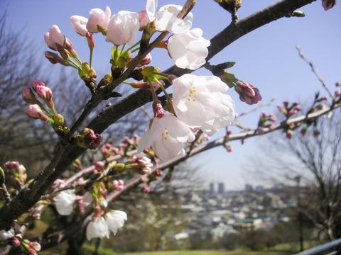 散策 [桜を探して] : MINOLTA Dimage Xt