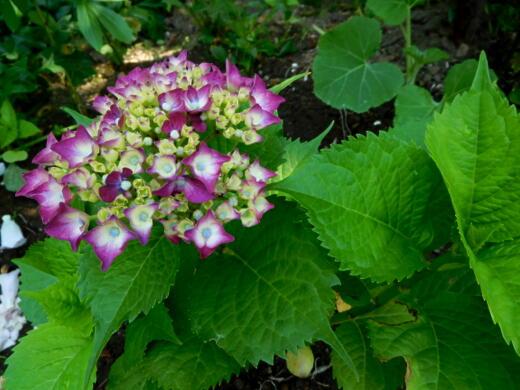 20  紫陽花とゼラ 0012
