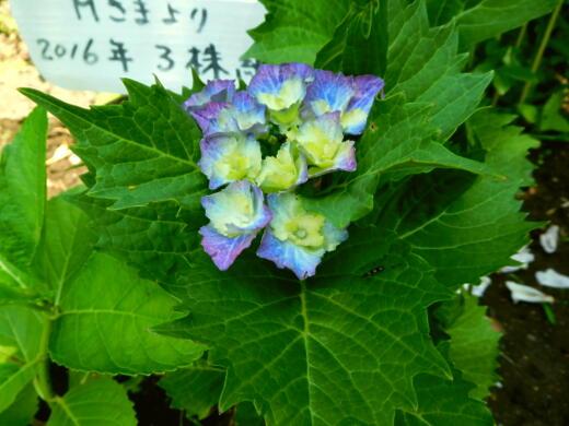 20  紫陽花とゼラ 0013