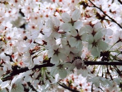 千鳥ヶ淵公園の桜・接写その1。