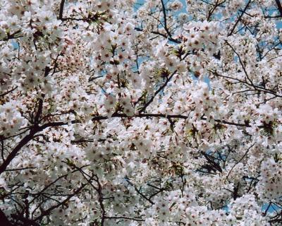 上向いて撮った桜。